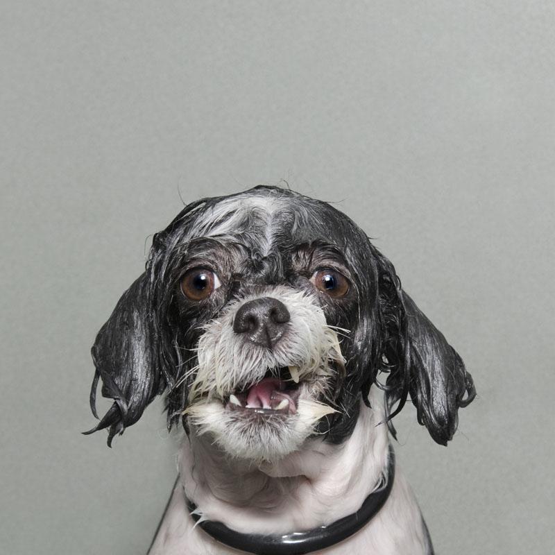 Мокрый щенок картинки столь грозное