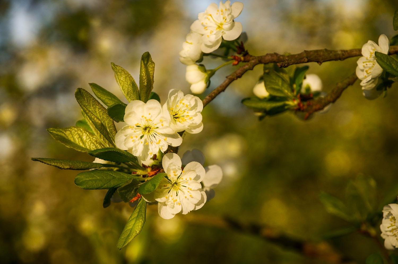 фото цветущей ветки сливы способы