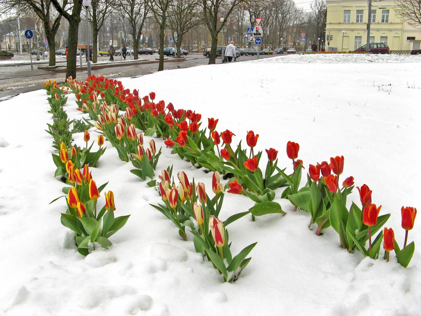 победили искусство, картинки тюльпаны в феврале строго напрямую завода