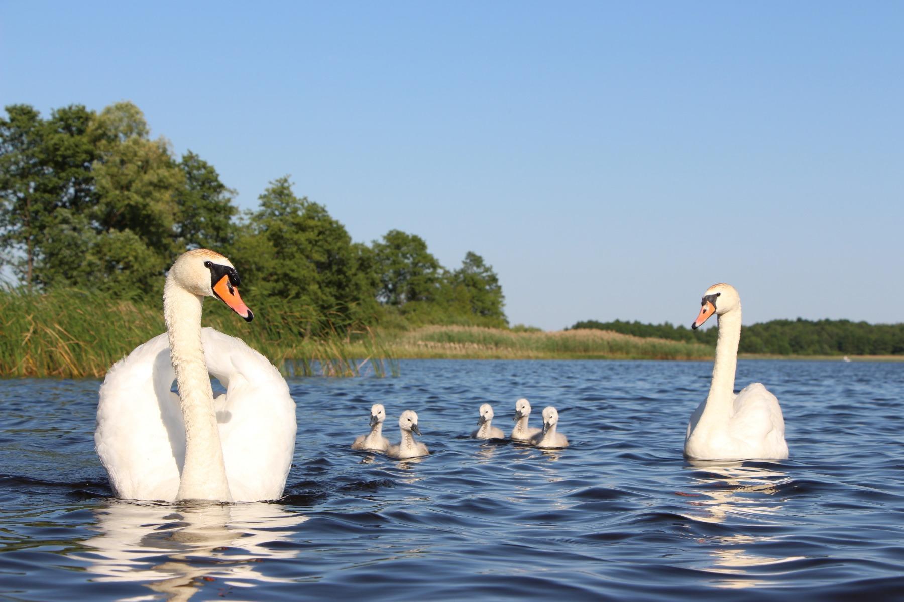 Лебеди на реке картинка