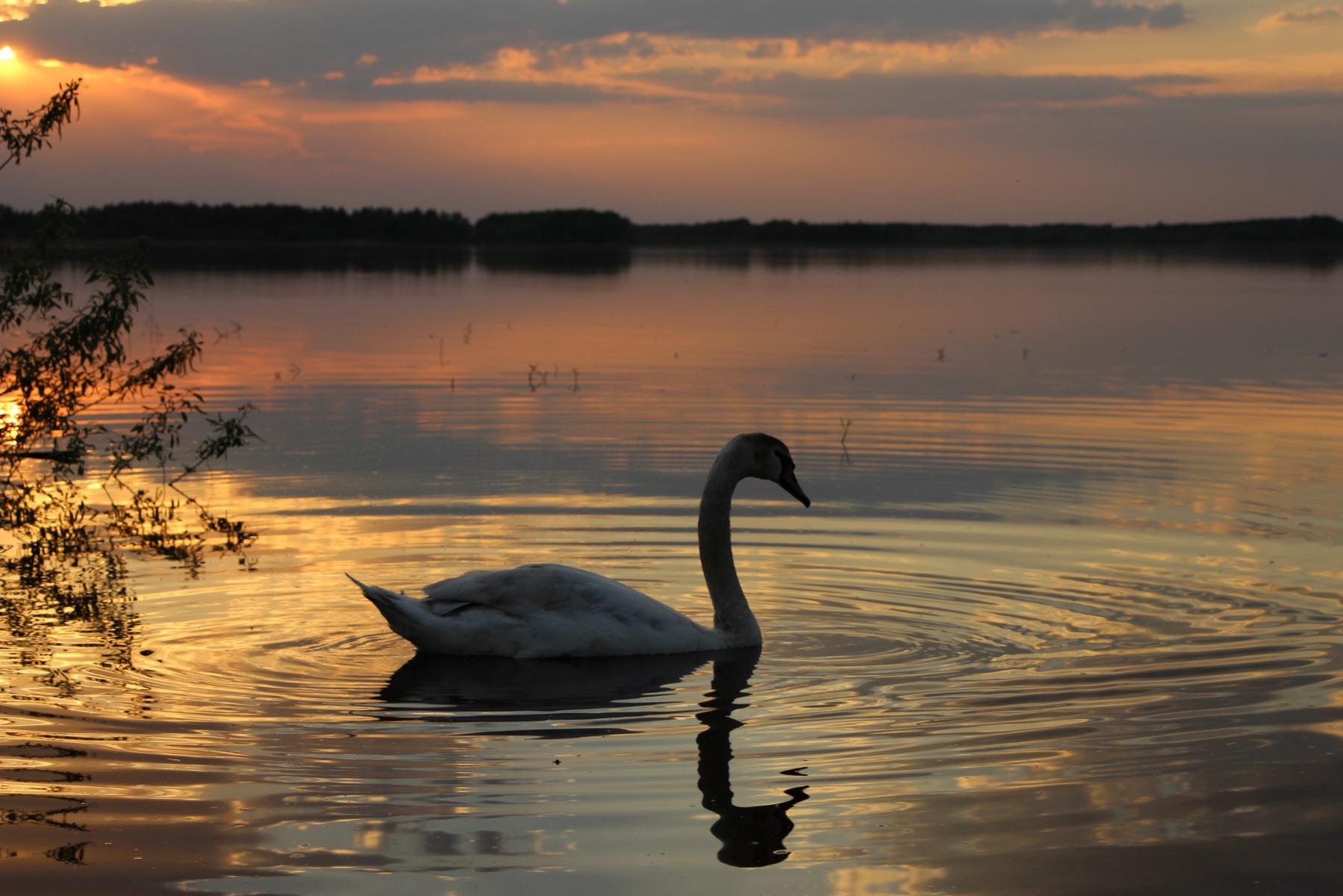 этому дню фото лебеди на закате солнца сложный феномен