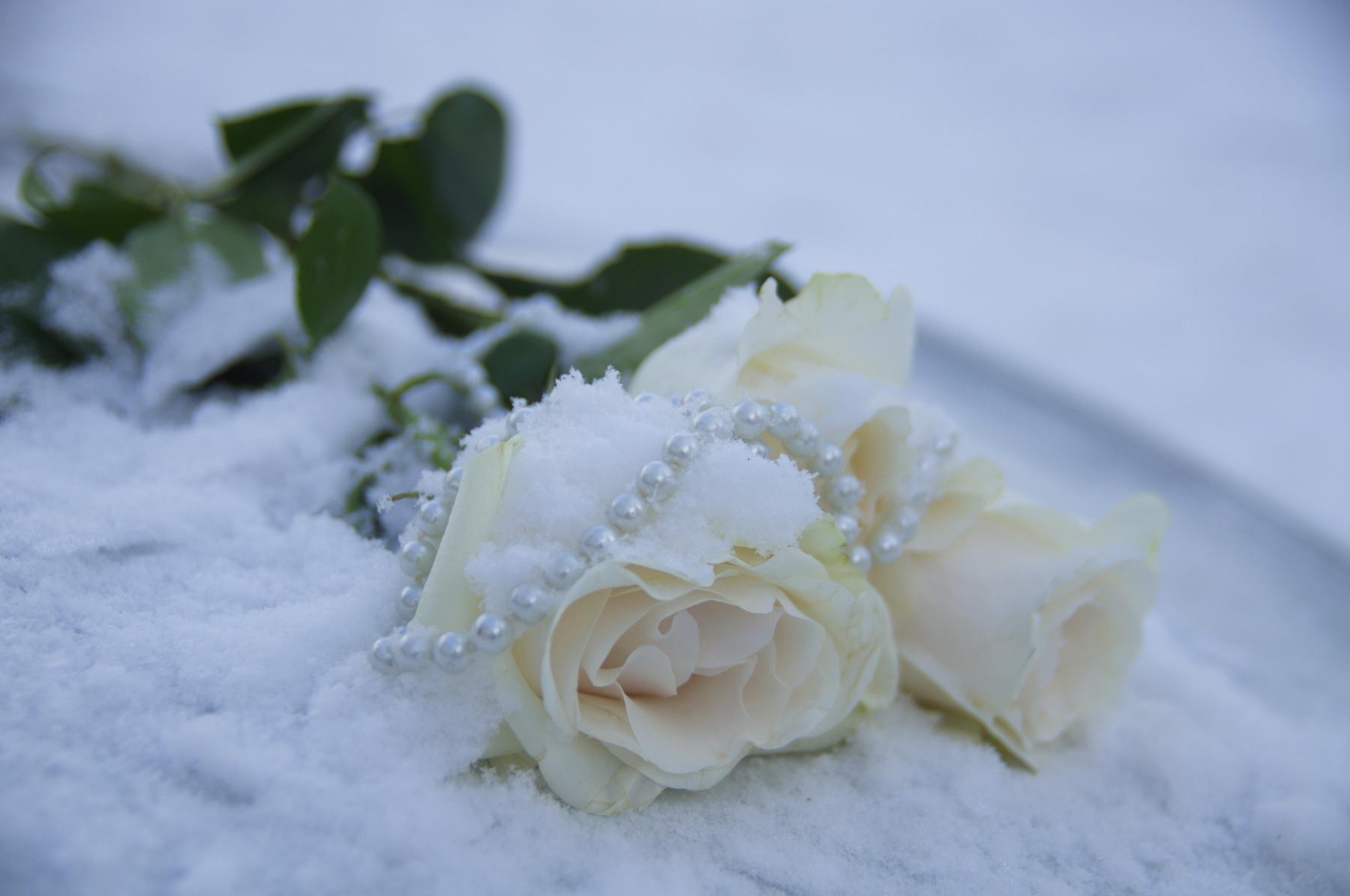 Картинки белая роза на снегу