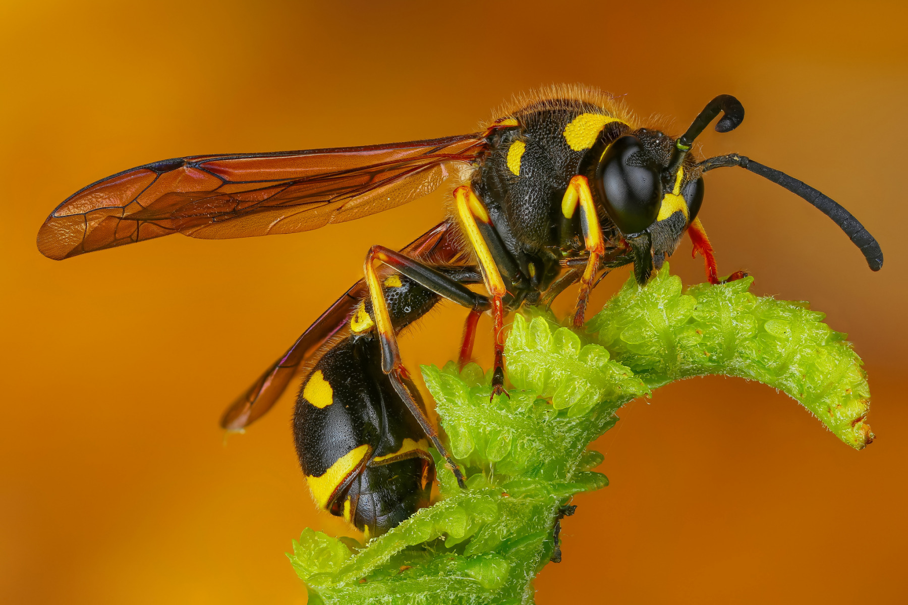 картинки осы и все о ней одним преимуществом пробки