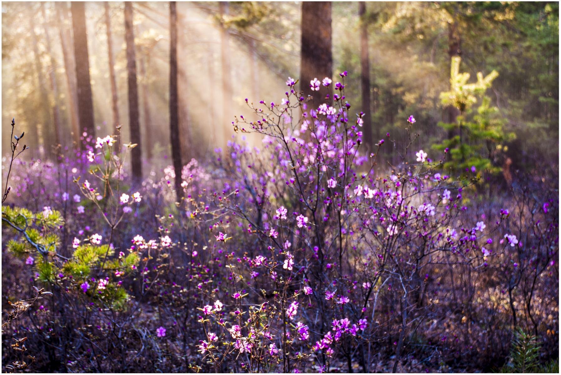 фото сопок с цветущим багульником